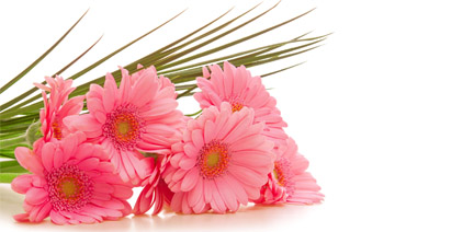 pink gerbera flowers summer